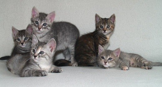 B litter, from left to right: Balthasar, Beatrice, Benjamin, Bellissima, and Basia, 8 weeks